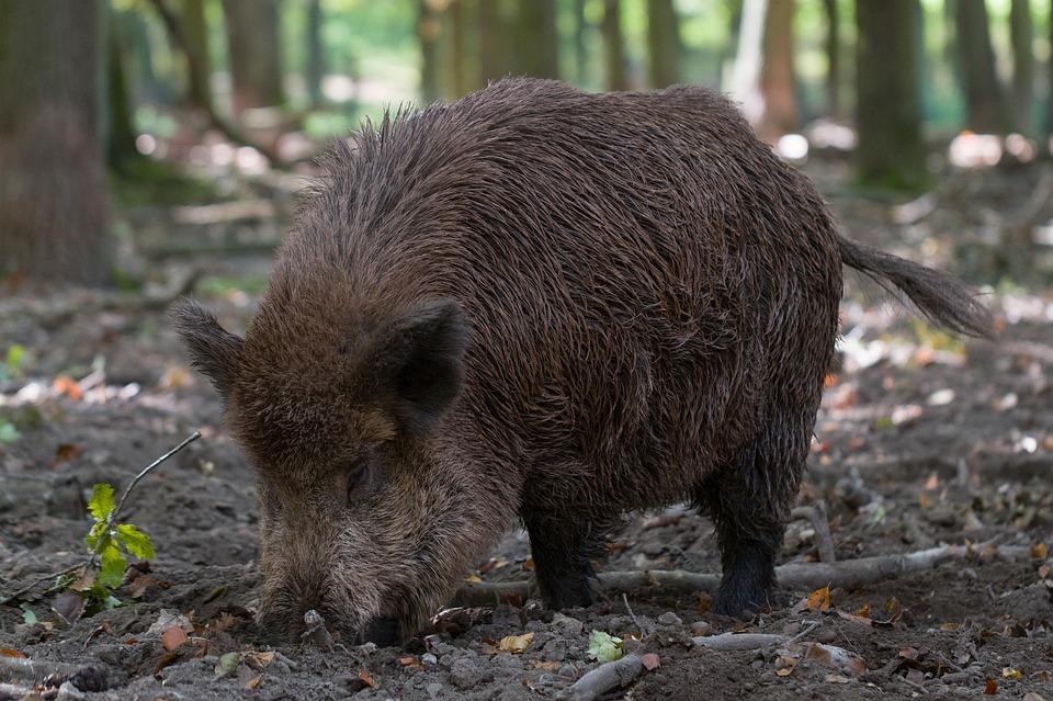 Ministarstvo poljoprivrede: Za zaštitu od divljih svinja i dabrova izdvojit će se 2 milijuna kuna